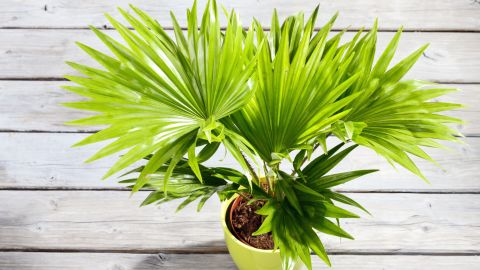 """A palm tree not only brings you memories of vacationing on a tropical beach, it also<a href=""""http://journals.usamvcluj.ro/index.php/promediu/article/view/9953"""" target=""""_blank"""" target=""""_blank""""> helps regulate humidity levels</a>."""