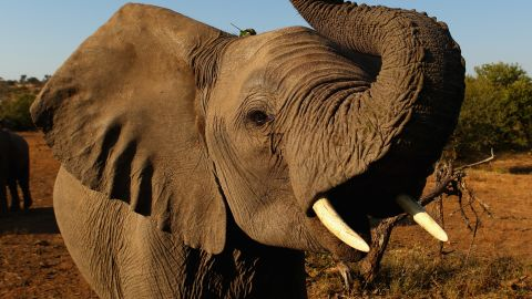 """""""It's a horrific sight, and something that stays with you,"""" says Ladkani. """"But what's more powerful and gets you more emotional is seeing the faces of the guys we were filming... for them it's like a lost child."""" Pictured: an elephant at the Mashatu game reserve in Botswana, July 2010."""