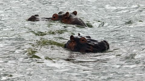Hippo's swim in Lake Naivasha.