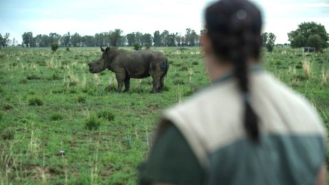 A de-horned rhino roams on the field at John Hume's Rhino Ranch in Klerksdorp, in the North Western Province of South Africa, on February 3, 2016.  Millionaire, John Hume is a private rhino owner/breeder in South Africa, who strongly advocates for legalising trade. His private game ranch, started in 1992, has approximately 1000 rhinos, all of whom have been dehorned. South Africa has by far the largest population of rhinos in the world and is an incredibly important country for rhino conservation. However, rhino poaching has reached a crisis point, and if the killing continues at this rate, we could see rhino deaths overtaking births in 2016-2018, meaning rhinos could go extinct in the very near future. Figures compiled by the South African Department of Environmental affairs show the dramatic escalation in poaching over recent years.  / AFP / MUJAHID SAFODIEN        (Photo credit should read MUJAHID SAFODIEN/AFP/Getty Images)