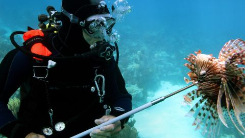 Methods to control lionfish populations have had mixed results.<br /><br />Spear-fishing derbies have reduced their numbers in localized areas, but have not impacted the wider spread.
