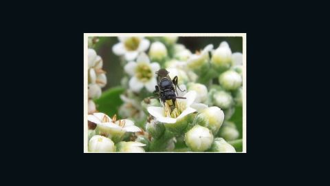 This is one of the seven bee species protected under the Endangered Species Act.