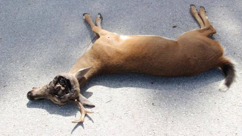 Around 60 endangered Key deer have died as a result of a screwworm infestation.