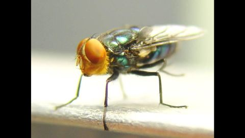 In her lifespan, the screwworm fly can produce thousands of offspring.