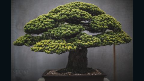 """Washington DC-based portrait photographer <a href=""""http://www.stephenvoss.com"""" target=""""_blank"""" target=""""_blank"""">Stephen Voss</a> started photographing bonsai in 2014, as a personal side project. One of the US National Arboretum's most spectacular bonsai, this Japanese white pine survived the atomic bombing of Hiroshima. It was presented to the US from the Japanese government in 1976, as a symbol of peace. """"It's astonishing how long these trees live,"""" says Voss. """"Every single day for 400 years, there has been someone caring for this tree. These people make this their life's work and then they pass it on to someone else."""" (Credit: Stephen Voss)"""