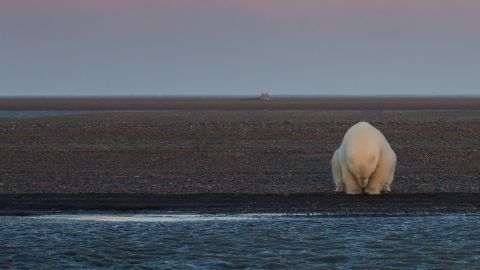 A solitary bear sits on the edge of one of the Barter Islands. There is no snow, when at this time of year, there should be. In speaking with the locals in Kaktovic, they've noted that it's been an unseasonably warm winter, and that the ice will be late in forming this year.  This will have an impact of the local polar bear population, when it comes time to hunt seals for their food...