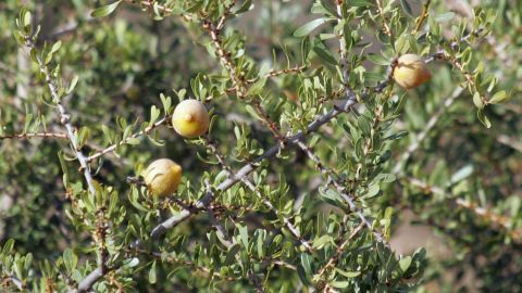 Olive-like yellow fruit grow on Argan trees in Morocco's southwest. Inside they contain the kernel that's required to make the country's rare and precious commodity: Argan oil.