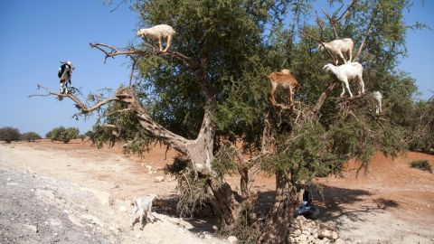 Opportunistic goats climb the gnarled trunks of the Argan trees to eat its bitter fruits. In the past, locals would collect the pits from the goat's droppings.