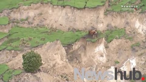 These cows survived the powerful earthquake in New Zealand ORIG _00000612.jpg