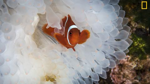 """The exhibition shows the best 100 photographs from a global competition.<br />""""On a recent trip to Indonesia we were saddened to see the huge number of bleached anemones. We expected to see some coral bleaching, but we were surprised by how many anemones were also becoming victims to rising ocean temperatures,"""" wrote photographer Diana Paboojian. <em>Via National Geographic Your Shot</em>"""