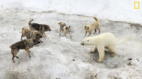 """Photo: Vladimir Melnik, Russia: """"I was in expedition exploring Franz Josef Land archipelago. There was a polar station where people brought dogs as guards against polar bears. The summer is difficult time for bears. In recent years warming in Arctic resulted in loss of sea ice which is critically important for bears as they can hunt only from ice. The bears which stay on the islands doomed to meager ration and go to human settlements,"""" wrote Melnik. <em>Via National Geographic Your Shot</em>"""