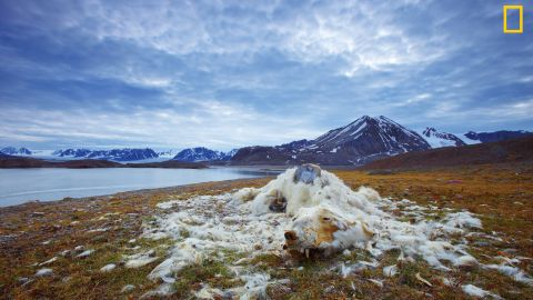 """Photo: Vadim Balakin, Russia: """"These polar bear remains have been discovered at one of the islands of Northern Svalbard, Norway. While it is not certain whether the polar bear died from starvation or old age, the good condition of its teeth indicate that it is most likely from starvation,"""" wrote Balakin. <em>Via National Geographic Your Shot</em>"""