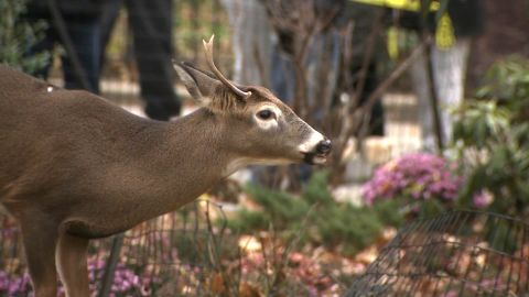 White-tailed deer roaming the city aren't entirely uncommon. This one died this week.
