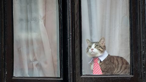 A cat wearing a striped tie and white collar looks out of the window of the Embassy of Ecuador as Swedish prosecutors question Wikileaks founder Julian Assange on November 14, 2016 in London, England.