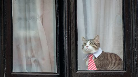 A cat wearing a striped tie and white collar looks out of the window of the Embassy of Ecuador as Swedish prosecutors question Wikileaks founder Julian Assange on November 14, 2016.