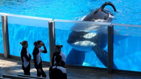 In this Monday, March 7, 2011 photo, killer whale Tilikum, right, watches as SeaWorld Orlando trainers take a break during a training session at the theme park's Shamu Stadium in Orlando, Fla. In an unprecedented lawsuit, People for the Ethical Treatment of Animals is accusing the SeaWorld marine parks of keeping five of its star-performer killer whales in conditions that violate the Constitution's ban on slavery. The suit, which PETA says it will file Wednesday, Oct. 26, 2011 in U.S. District Court in San Diego, hinges on the fact that the 13th Amendment, while prohibiting slavery and involuntary servitude, does not specify that only humans can be victims. (AP Photo/Phelan M. Ebenhack)