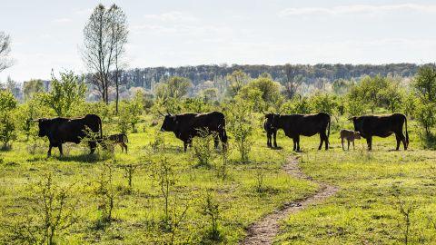 Small Tauros herd in the Czech Republic.