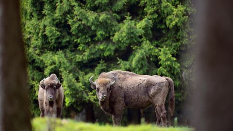 Bison have successfully been re-introduced to areas of Europe and the US.