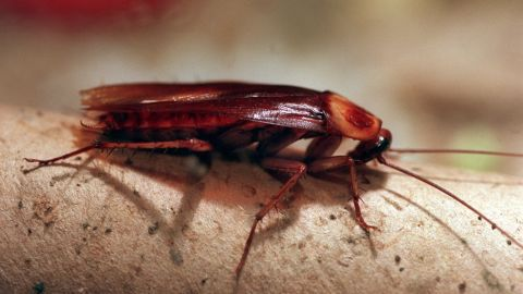 An American cockroach, which averages about 1.5 inches in length. An Indian woman had a live 1-inch-long cockroach pulled from her skull.