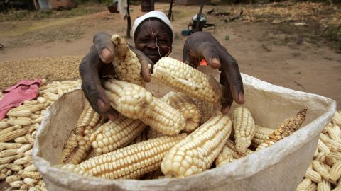 The fall armyworm is devastating  Zimbabwe's maize crop, exacerbating the damage caused by a severe recent drought.