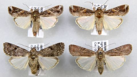 The armyworm in adult form is a formidable traveler. In North America, the species migrates from Florida to Canada, raising fears they could spread widely across Africa.