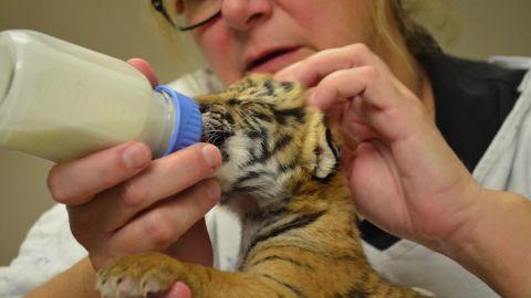 malayan tiger cubs born at cincinnati zoo orig vstan_00000000.jpg