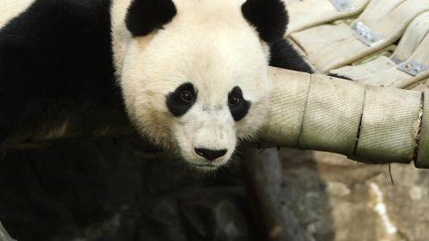 bao bao panda final checkup