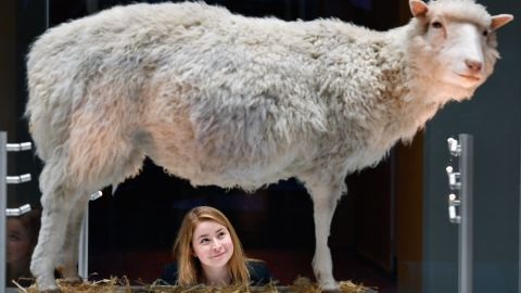 Dolly the sheep is now on display at the National Museum of Scotland.