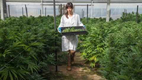 A worker at one of Israel's largest medical cannabis greenhouses prepares plants for harvest.