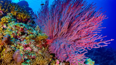 Nearly invisible are each atoll's factory of coral polyps, which circulate over thousands of kilometers of open ocean to seed and support distant reefs, says Asner.