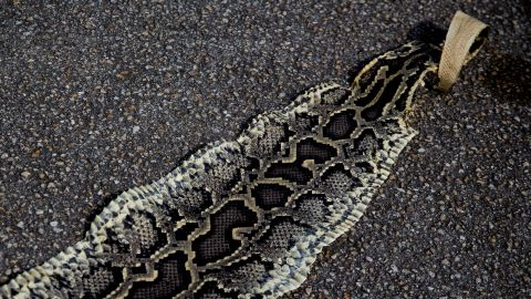 """Kalil shows off the skin of a python she found in a previous hunt. """"They're everywhere at every time,"""" she says. """"It's just a luck of the draw."""""""