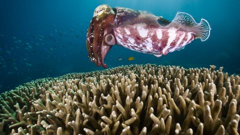 A cuttlefish looks stops and hovers over coral, looking for a place to hide her eggs in Challenger Bay on the Great Barrier Reef.
