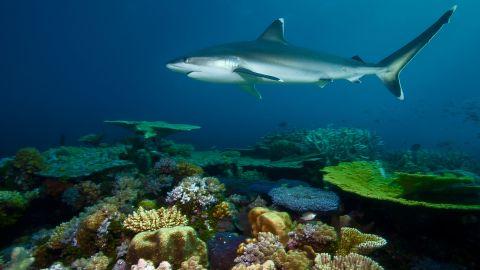 A silvertip shark patrols Great Detached Reef looking a meal.