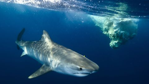 A tiger shark protectively circles  a dead sperm whale on the inside of the barrier reef.