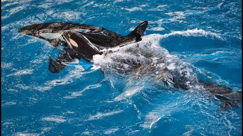 SeaWorld San Antonio had welcomed the orca calf in April.