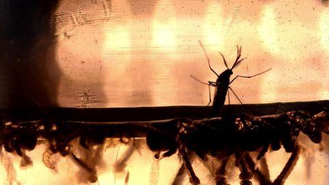 Zika mosquito _00000128.jpg