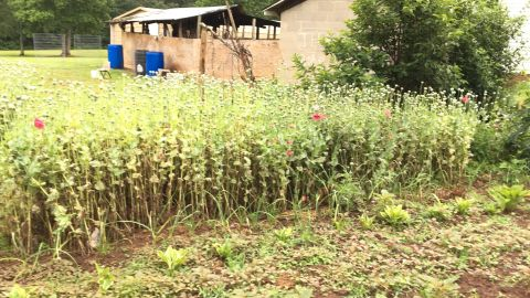 Police in North Carolina say Cody Xiong was growing 2,000 pounds of opium poppy on his land.