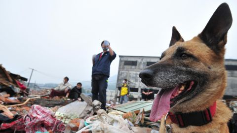 """TO GO WITH China-quake-Netherlands-animal-dogs by Ian Timberlake Search dog """"Rifka"""" waits to be unleased amid the rubble during a search and rescue operation by the Netherlands-based unit SIGNI on May 25, 2008 in southwest China's quake-stricken Sichuan province. The dogs are trained to find the living and the dead and have worked in the 2004 tsunami in Sri Lanka an Thailand as well as the 2005 Pakistan quake, Hurricane Katrina in the United States, and other quakes in Turkey and Morocco. AFP PHOTO/Frederic J. Brown (Photo credit should read FREDERIC J. BROWN/AFP/Getty Images)"""