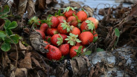 Strawberries lost due to a fungus that experts report is caused by climate change in La Tigra, Honduras, in September 2016.  According to Germanwatch's Global Climate Risk Index, Honduras ranks among the countries most affected by climate change.