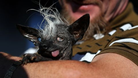 SweePee Rambo, a nearly-hairless wonder from Van Nuys, California, sticks her tongue out in celebration after winning the 2016 World's Ugliest Dog contest.