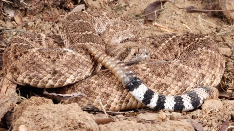 """Western diamondback rattlesnakes (scientific name: <a href=""""http://www.californiaherps.com/snakes/pages/c.atrox.html"""" target=""""_blank"""" target=""""_blank"""">Crotalus atrox</a>) rank among the largest of rattlesnakes, growing, on average, to a length of 30 to 90 inches, with most ranging between one and four feet. The preferred climate of this snake is semiarid areas such as mountains, deserts, canyons and rocky foothills. Western diamondbacks inhabit California, Arizona, New Mexico, Oklahoma, Texas and Arkansas. Like other snakes, this one can grow back any broken fangs, which happens often.  While young, this snake will make a snack of large insects and frogs. As it grows older, it eats small mammals, birds and lizards."""