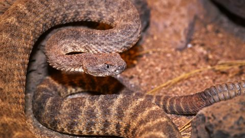 """The tiger rattlesnake (scientific name: <a href=""""http://animaldiversity.org/accounts/Crotalus_tigris/"""" target=""""_blank"""" target=""""_blank"""">Crotalus tigris</a>) ranges in length from from about 18 inches to 36 inches, with an average length of about two feet. Generally, its head is small and its rattle is long. Though relatively undersized for a rattlesnake, the tiger rattler carries the dubious distinction of being the most toxic of the American venomous snakes. Tiger rattlesnakes live in southern and central Arizona and the Gulf of California. These snakes commonly gorge on small mice and other small mammals, including rats and lizards."""