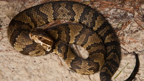 """Cottonmouths (scientific name: <a href=""""https://www.floridamuseum.ufl.edu/herpetology/fl-snakes/list/agkistrodon-piscivorus-piscivorus/"""" target=""""_blank"""" target=""""_blank"""">Agkistrodon piscivorus</a>) reach an average adult size of 20 to 48 inches with a heavy body. A threatened cottonmouth may respond by opening its mouth as if ready to bite -- it's the white color of its interior mouth that gave rise to the name cottonmouth. They are also known as water moccasins. These snakes can make a home anywhere along the East Coast from Virginia to Florida, extending as far west as Eastern Texas. Standard meals include fish, frogs, mice, rats and other small mammals."""