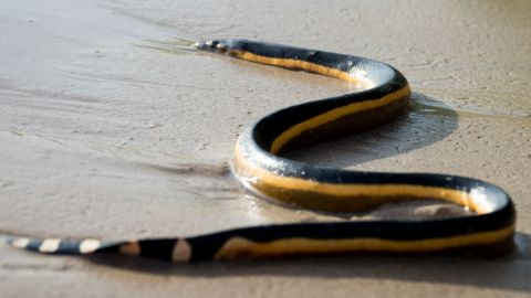 """Yellow belly sea snakes (scientific name: <a href=""""http://www.californiaherps.com/snakes/pages/p.platurus.html"""" target=""""_blank"""" target=""""_blank"""">Pelamis platurus</a>) reach an average adult size of 10 to 45 inches with a flattened body. Able to spend up to three hours underwater without surfacing, research suggests 87% of the time this snake dwells underwater. Needing warm water, yellow belly sea snakes normally reside in tropical areas of the Indian and Pacific Oceans and can be found in Central America, Mexico, and Baja California. This ambush predator waits quietly at the surface of the water, waiting for fish to swim by, and then makes a meal of small fish and eels."""