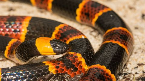 """Coral snakes (scientific name: <a href=""""http://www.snake-removal.com/coral.html"""" target=""""_blank"""" target=""""_blank"""">Micrurus</a>) come in both Eastern and Western varieties, with the former type pictured here.  At its longest, an adult may grow to 30 inches while maintaining a slender body. The Eastern coral is more common than the Western, but in their natural habitats of southeastern or southwestern United States, neither are seen very often. These snakes are naturally reclusive, emerging from their dens only rarely. Coral snakes feed on a diet of other reptiles and snakes (even other coral snakes), with the occasional frog thrown in."""
