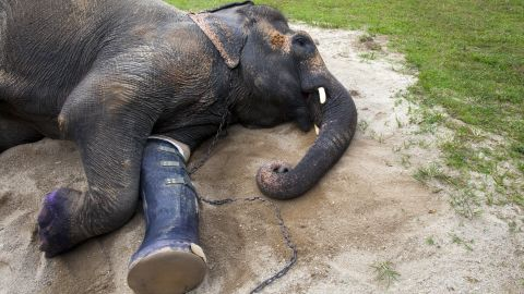 An elephant rests in the afternoon sun with the new prosthetic made for her at the Friends of the Asian Elephant (FAE)  hospital in the Mae Yao National Reserve of Lampang, Thailand. The elephant lost a foot years ago after stepping on a land mine and now is on her third prosthetic.