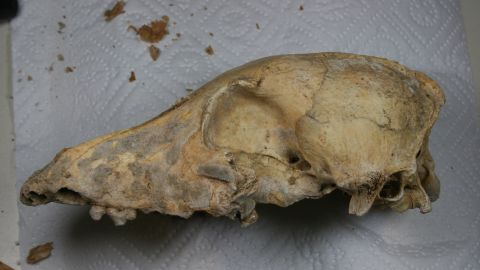 A picture of the 5000 year old Late Neolithic CTC dog skull in the lab before it underwent whole genome sequencing.