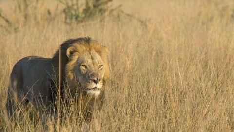 Xanda was killed by big trophy hunters in western Zimbabwe in early July.