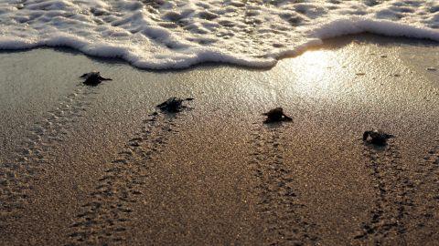 Newborn marine turtles head towards the sea at Mansuri beach, about 95 km south of Beirut.