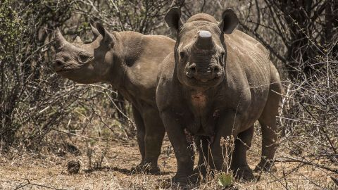 Two rare black rhinos, one with its horn removed as an anti-poaching measure, graze at one of Hume's ranches in 2015.